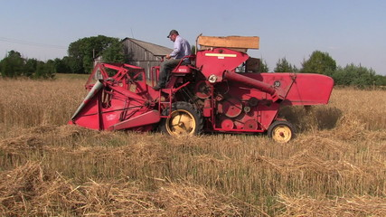 Farm worker harvest wheat plants with red combine harvester