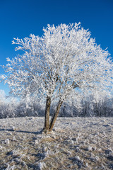 Hoarfrost covered tree