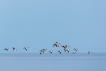Flock of Shelduck in the sky