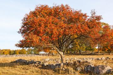 Rowan tree at autumn