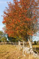 Rowan Trees with autumn colors