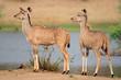 Two female kudu antelopes
