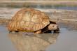 Leopard tortoise at a waterhole