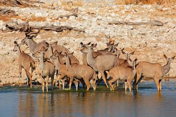 Kudu antelopes drinking water, Etosha National Park