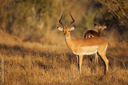 Impala antelope in natural habitat