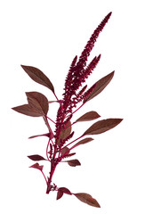 Amaranthus isolated.