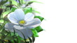 growing magnolia flower time lapse animated concept background