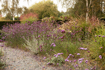 Border of verbena bonariensis