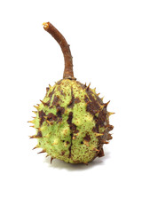 Chestnut in prickly peel isolated on white background
