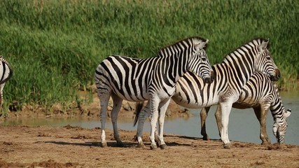 Plains  zebras gathering at a waterhole to drink
