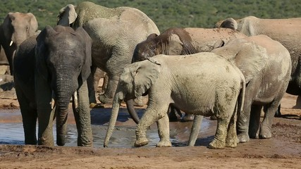 African elephants drinking water at a waterhole