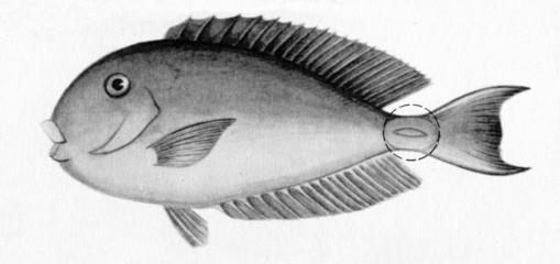 "Surgeonfish ((""thorn tail"" circumscribed)"