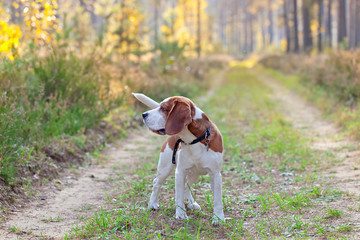 beagle in forest