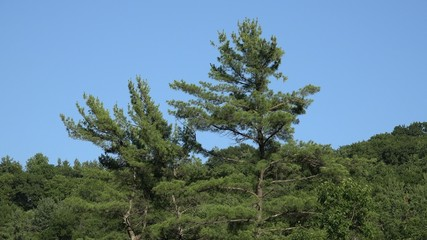 Pine Trees, Pine Cones, Forest