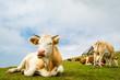 Cows (Velika Planina, Slovenia)