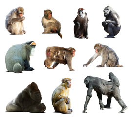 Set of many monkeys. Isolated over white