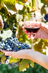 Ripe grapes and glass of wine in people's hands
