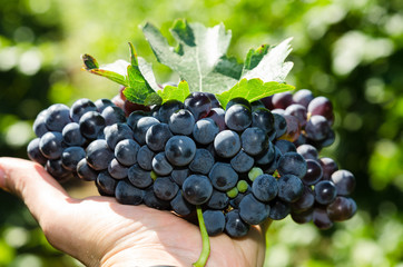 Ripe grapes in people's hands