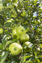 apple tree with the fruits