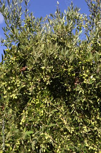Tuinposter Olijfboom Olives on the tree