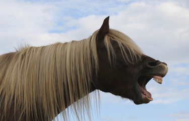Pferd gähnt