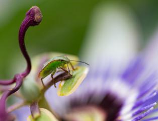 Casside, insecte vert