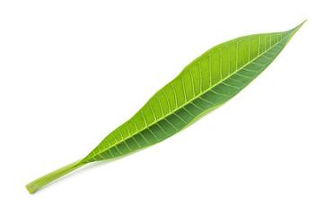 Frangipani leaf