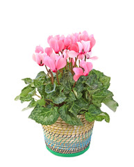 cyclamen rose en pot