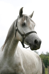 Portrait of a beautiful arabian gray horse