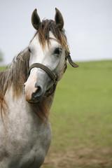 Head of a beautiful arabian gray horse