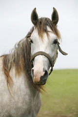 Portrait of shagya arabian horse in pastureland