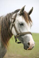 Head of a shagya arabian horse in pasture