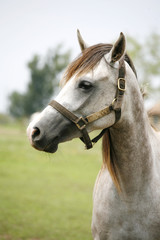 Head of shagya arabian horse in pasture