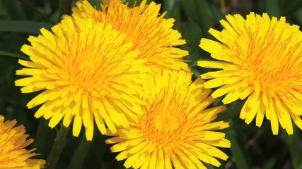 The Dandelion, Taraxacum officinale