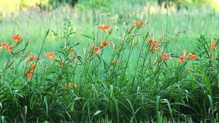 A field of Day Lilies growing in the wild