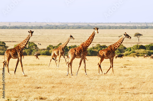 Staande foto Giraffe Giraffes on the Masai Mara in Africa