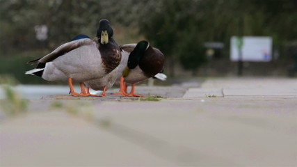 Two male ducks in the partk