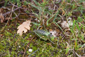 Insecto ortoptero Chicharra alicorta o Grillo verde