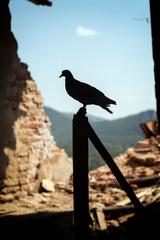 The dove, peace symbol