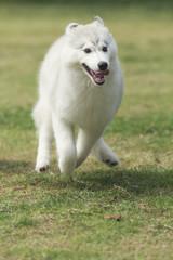 Running siberian husky