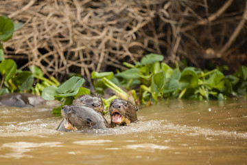 Trio of Giant Otters in River, Vocalizing