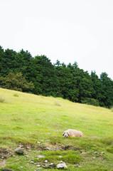 草原のひつじ