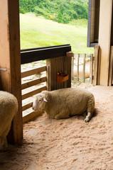 羊小屋のひつじ