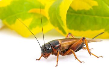 black cricket