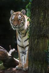 Bengal tiger panthera tigris tigris in captivity