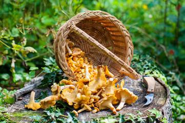 Harvest of Chanterelles-Cantharellus cibarius