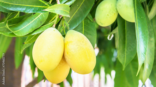 sweet yellow marian plum © dk_patt