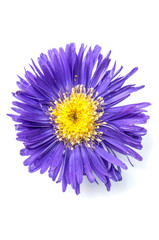 aster isolated on white background