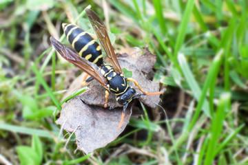 Wespe auf verwelktem Blatt bei der Nahrungssuche