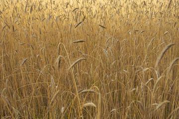 Feld mit Weichweizen